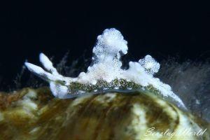 ゴクラクミドリガイ属の一種 12 Elysia sp.12