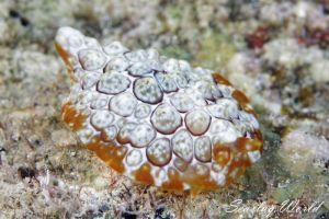 ゼニガタフシエラガイ Pleurobranchus forskalii