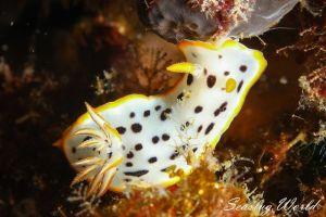 シロウミウシ Goniobranchus orientalis