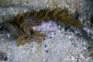 プテラエオリディア・イアンティナ Pteraeolidia ianthina