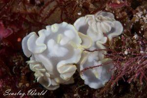 シロタエイロウミウシ Glossodoris buko