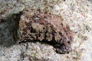タツナミガイ Dolabella auricularia