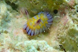 ボブサンウミウシ Goniobranchus roboi