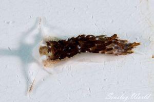 クロカスミミノウミウシ Cerberilla sp. 6