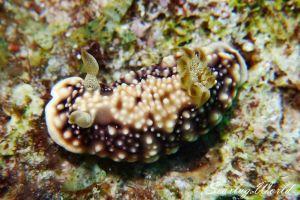 キカモヨウウミウシ Goniobranchus geometricus