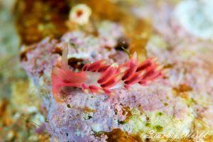 ホホベニミノウミウシ Trinchesia sp.15