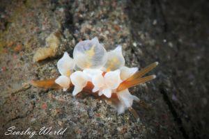 イナバミノウミウシ Eubranchus inabai