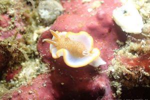 キャラメルウミウシ Glossodoris rufomarginata