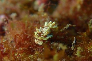 ツルヒメウミウシ Goniodoridella sp.14
