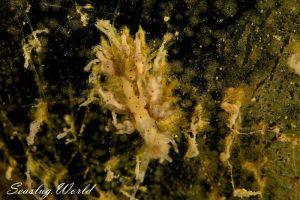 ホシアカリミノウミウシ Eubranchus sp. 5