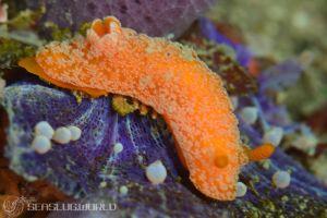 オレンジサメハダウミウシ Rostanga sp. 2