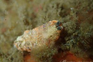 サビイロオトメウミウシ Dermatobranchus sp. 3