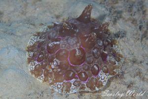 イッサイフシエラガイ Pleurobranchus mamillatus