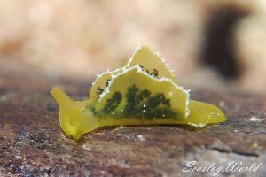 オトメミドリガイ Elysia obtusa