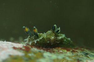 フジタウミウシ属の一種 4 Polycera sp. 4