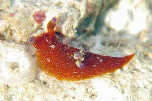 ニシキリュウグウウミウシ Martadoris limaciformis