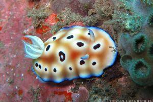 ヒョウモンウミウシ Goniobranchus leopardus