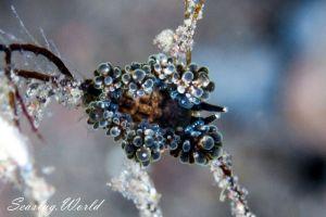 マツカサウミウシ属の一種 6 Doto sp. 6