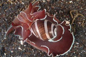 ヤカタガイ Hydatina albocincta