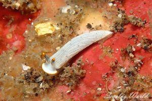 カメキオトメウミウシ