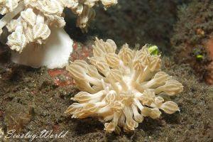 ラドマンミノウミウシ Phyllodesmium rudmani