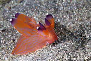 クチナシツノザヤウミウシ Thecacera sp. 2