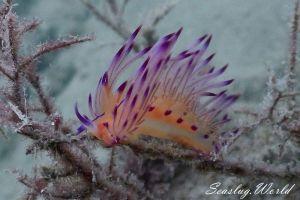 ロータスミノウミウシ Coryphellina lotos