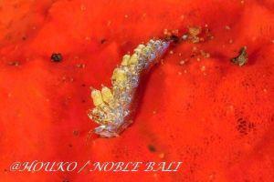 リーフミノウミウシ Trinchesia sp.32