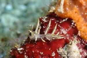 ホソミノウミウシ Eubranchus sp. 9