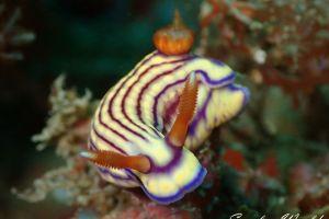 クチナシイロウミウシ Hypselodoris whitei
