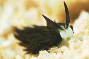 セジロモウミウシ Costasiella sp. 2