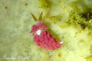 ツノヒダミノウミウシ Favorinus perfoliatus
