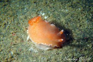 ホンクロシタナシウミウシ Dendrodoris nigra