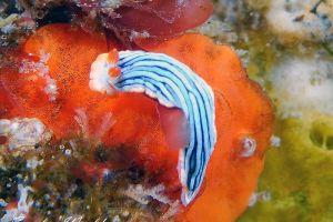サメジマオトメウミウシ Dermatobranchus striatellus