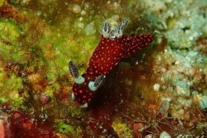 ベニゴマリュウグウウミウシ Nembrotha sp. 1