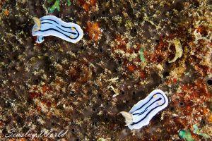 ミスジアオイロウミウシ Chromodoris lochi
