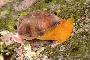 ナツメガイ Bulla vernicosa