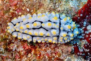 ツノキイボウミウシ Phyllidia elegans
