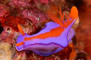 フタイロニシキウミウシ Ceratosoma bicolor
