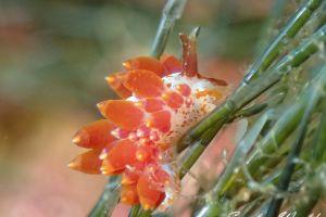 ホリミノウミウシ属の一種 24 Eubranchus sp.24
