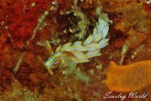 オオムギミノウミウシ Trinchesia sp.27
