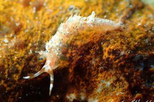 リンカミノウミウシ Caloria sp. 1