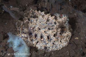 スポンジウミウシ Atagema spongiosa