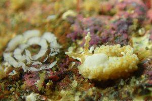 シロミノウミウシ Bulbaeolidia alba