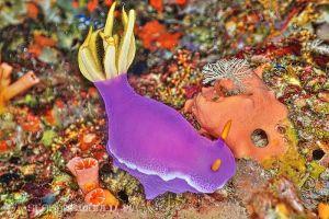 シンデレラウミウシ Hypselodoris apolegma