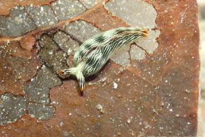 タスジミドリガイ Thuridilla gracilis