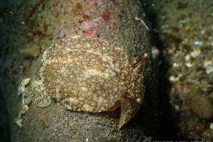 ウミフクロウ Pleurobranchaea japonica