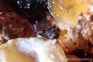 ヒメクロモウミウシ
