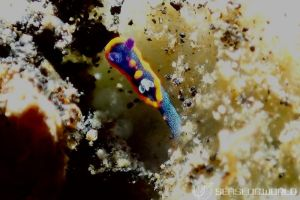 クロスジリュウグウウミウシ属の一種 3 Nembrotha sp. 3