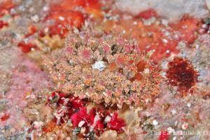 コヤナギウミウシ属の一種 18